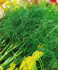 Купить <b>семена Укроп Гладиатор</b> — от НПО Сады Росcии