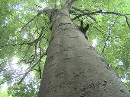 Fagus grandiflora-beech tree