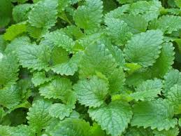 Balm herb plant is used as antibiotic dressing for wounds and for menstruation