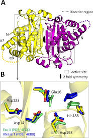 Structural insights into the duplex DNA processing of <b>TREX2</b> ...