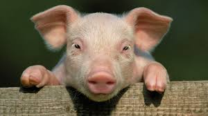 Image result for free dead piglet pictures