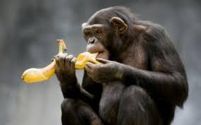 Αποτέλεσμα εικόνας για χιμπατζής με μπανανα