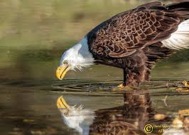 best images about southwest florida eagle cam 17 best images about southwest florida eagle cam nests the eagles and morning post