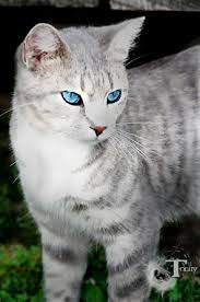 Image result for grey tabby cat with blue eyes