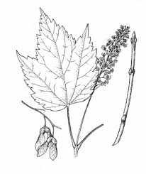 Acer spicatum Lam. <b>mountain maple</b> ACERACEAE Synonyms: none