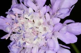 Cephalaria transsylvanica-Based Flower Strips as Potential Food ...