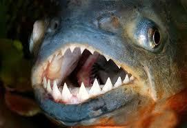 Resultado de imagen de Piraña: el pez del mal Piraña: el pez del mal