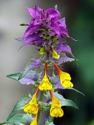 Wood Cow-wheat, Melampyrum nemorosum - Flowers - NatureGate
