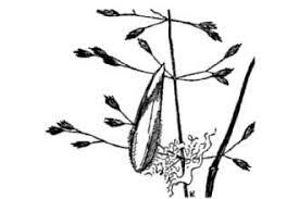Plants Profile for Poa nemoralis (wood bluegrass)