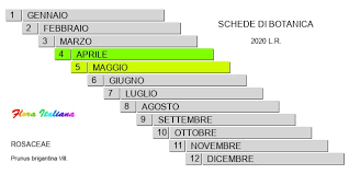 Prunus brigantina [Pruno di Briançon] - Flora Italiana