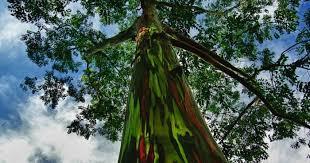 Hermoso árbol eucalipto arcoiris