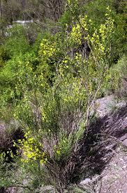 Genista cinerea - Wikispecies