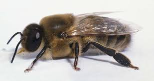 Image result for Bee wiki