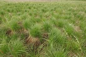 Image result for hay sedge