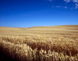 Image result for kansas wheat fields