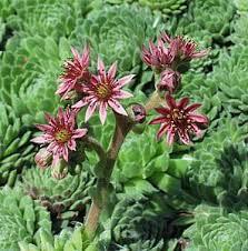 Sempervivum montanum at San Marcos Growers