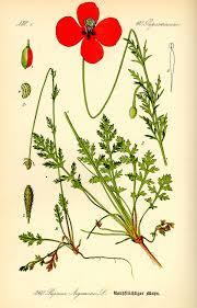 Papaver argemone - Wikipedia, la enciclopedia libre