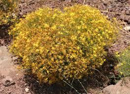 Hypericum triquetrifolium Turra | Flora of Israel Online