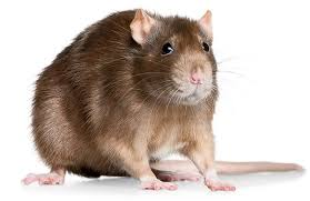 Image result for rat images