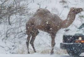 How a <b>camel</b> got stuck in the <b>snow</b> on Route 309 - lehighvalleylive ...
