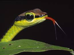 Image result for snake tongue