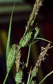Carex tomentosa - Wikipedia
