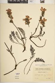 SEINet Portal Network - Pedicularis elongata