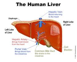 Cara Mengobati Penyakit Liver Secara Alami