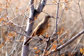 the nature of framingham  my husband tom captured this guy about 10 miles east of tucson but you can curved billed thrashers throughout the sonora desert region