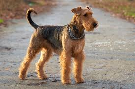 O   σκύλος      Airedale Terrier...
