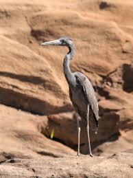 Humblot's heron