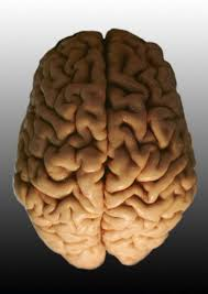 Image result for brain parts