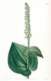 Gennaria diphylla - Wikipedia