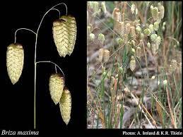 Briza maxima L.: FloraBase: Flora of Western Australia