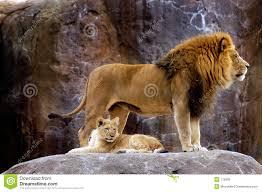 image de le lion Images?q=tbn:ANd9GcSsgmk7o059WBrv9L85TpoAsVF5eMoUjci9WOUlGlG-KE3iFr7Q