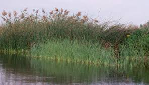 Image result for wetland plants