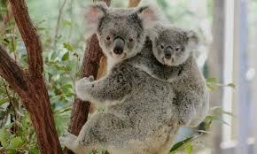 koala ¨¨ ^^ := =) Images?q=tbn:ANd9GcSsxJLcTsrFxRQtINeOSx0T9GIPRJoySjnCC1wXJHnsqr0op2h5