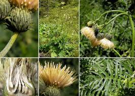 Cirsium erisithales (Jacq.) Scop. - Sistema informativo sulla flora ...