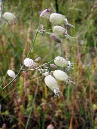Silene vulgaris (silenka nadmutá) | BioLib.cz
