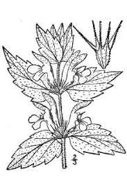 Plants Profile for Lamium album (white deadnettle)