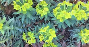 How to Grow Gopher Plant (Euphorbia Rigida) | Gardener's Path