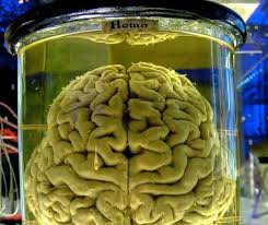Image result for replicating the brains wrinkles in a jar