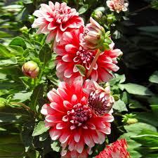<b>20pcs</b>/<b>bag dahlia</b>,<b>dahlia flower</b> Mixed Colors <b>Dahlias</b> Seeds For DIY ...