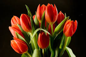 Image result for kremp tulips