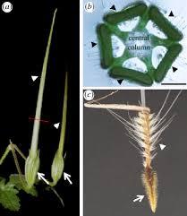 The morphology of the fruit of stork's bill (Erodium gruinum). (a) Two ...