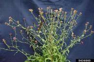 brown knapweed: Centaurea jacea (Asterales: Asteraceae ...
