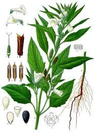 Sesamum indicum - Wikipedia