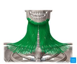 Cervical fascias: Superficial and <b>deep fascial</b> layers   Kenhub