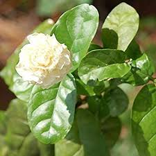 WuWxiuzhzhuo <b>Big Promotion 100Pcs</b> Jasmine Flower Seeds ...