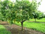 Images & Illustrations of carambola tree